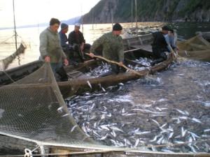 Нелёгкий труд рыбака